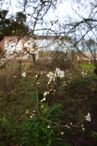 Delicate blossoms defy early March cold.
