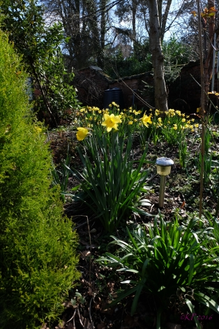 Big brother Daffs join the Miniature Daffs that have been open since mid-January.