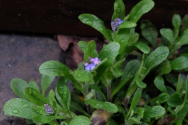 Forget-Me-Nots hiding in the shelter of a planter on my patio.