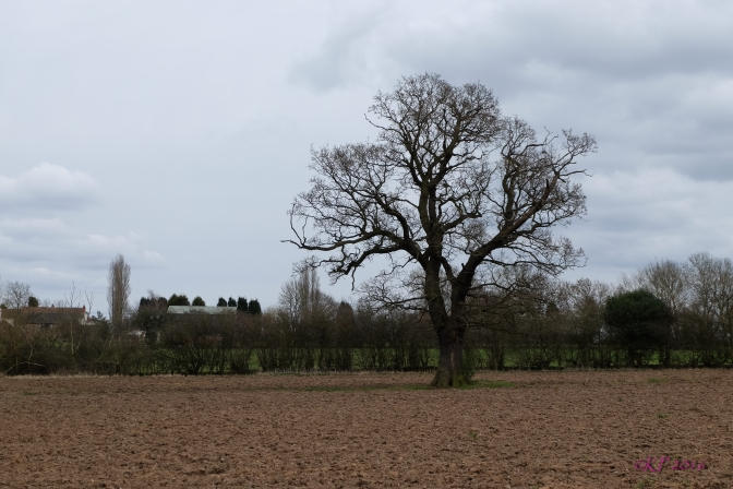 Once more back in our home field, the Oak stands alone, still bare of leaves an dstark against the newly plowed soil.