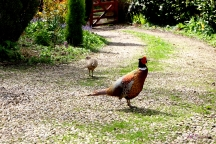Silly Pheasant. But isn't he handsome.