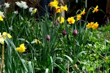 New Tulips Coming