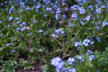 Forget-Me-Not Heaven