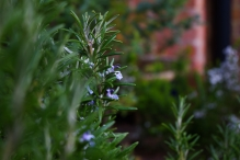 Wedding Rosemary in Bloom
