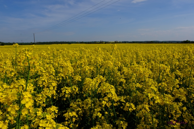 The warp and weft of the stalks and stems creates the delicate green foundation for the yellow pattern of the rapeseed field. They stretch into the distance, creating a shimmering yellow sea.