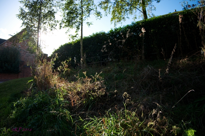 From the bottom of an embankment in our lane, the sun glorifies the mid-Autumn remnants of summer, as if to encourage them to keep seeding and grow next year.