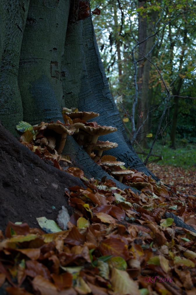 There is a Beech Tree across the road, in the Forgotten Wood. There are wonders at its foot, in amongst the leaves.