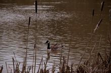 Canada Goose at Sence
