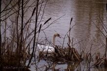 Swan at Sence