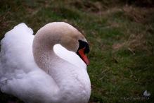 Swan at Sence2