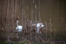 Swans at Sence