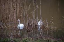 Swans at Sence2