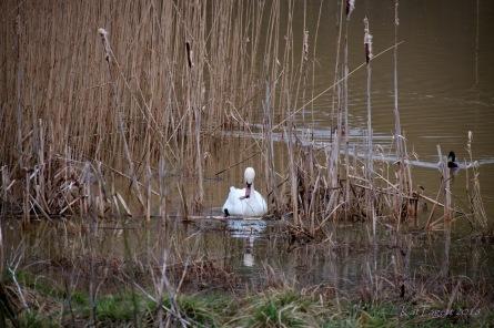Swans at Sence3