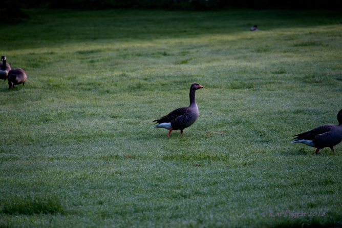 Mr and Mrs Greylag move off as Ralph and Alice casually follow.