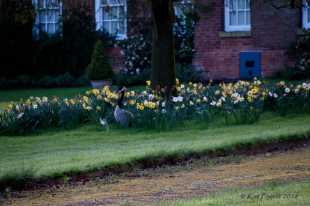 Ralph makes his way through the Daffodils.