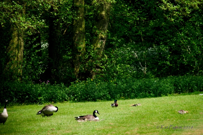 ... a gosling just had to go off on his own. Even Mr Mallard is curious.