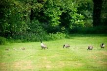 May 24, 10:44am - Canada Goose Chorus Line