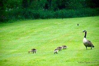 Goslings eating.