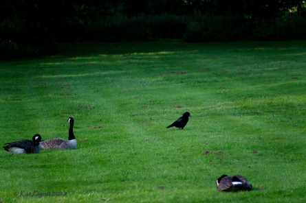 Seems Mr Crow is scoping things out as he goes by Trixie, Norton and Ralph.