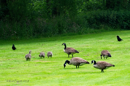 The Crows are hopeful, but the Goslings are almost as big as them.