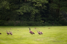 As pair of Thrushes watch in the background, the Goslings keep running and flapping. It's almost a race!