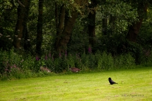 The Hooded Crow watches as Norton and Trixie get to the Foxgloves at the pond. No snack today.