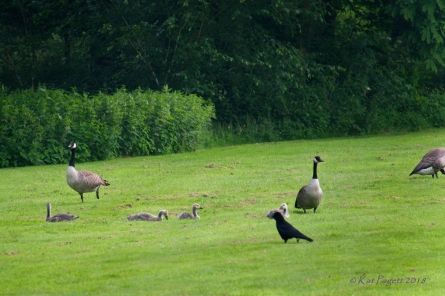As the Goslings feed, the adults watch, preen and feed themselves. Crow number one arrives.