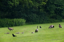 As all but Alice preen, another Crow arrives. The little ones look so tiny and easy to get.