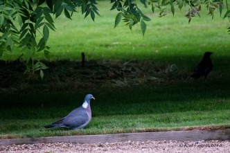 And Woody ... the Wood Pigeon.
