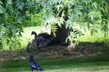 White Wing watches as the Goslings explore..