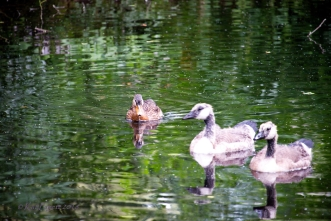 Mama Duck comes over for seed, but gets distracted. 'Are these aliens?' she seems to be saying.