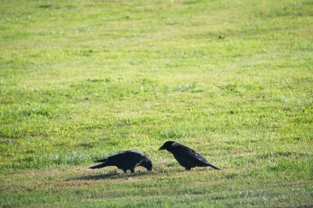 I believe the one on the right is White Wing. He watches as the other raven eats.