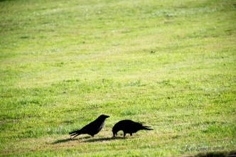 I can almost think what the parent Raven is thinking as White Wing proves he is perfectly able to feed himself.