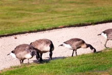 As the Goslings all make the crossing, Alice relaxes and eats.