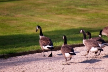 Reluctantly, the Goslings follow Alice back to more familiar ground.