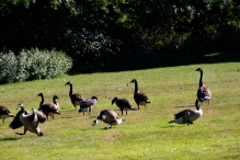 I'm not sure who's having the tantrum, but it's probably Ralph. Too many Geese!!