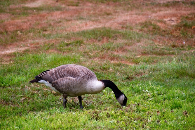 I believe this is also one of the Goslings. The chest feathers are a bit fluffier than adult chest feathers.