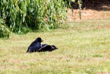 The adult Crow seems to be wondering, 'What the ...?'