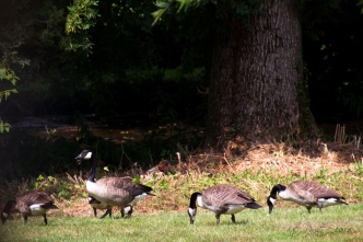 These are the goslings with Alice.
