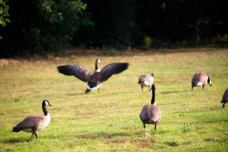 The youngsters watch as another adult exerts powerful wings.