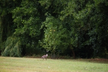 2:33pm - Coming back across the lawn toward her as she heads for the safety of the pond.