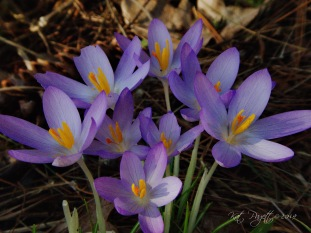 Crocus Close-Up