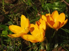 Cluster of Croci