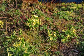 Primroses on the bank.