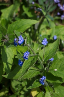 Green Alkanet - a weed, absolutely, but lovely.