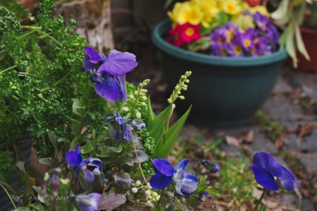 Pansies, Lily-of-the-Valley, Parsley and Primroses.