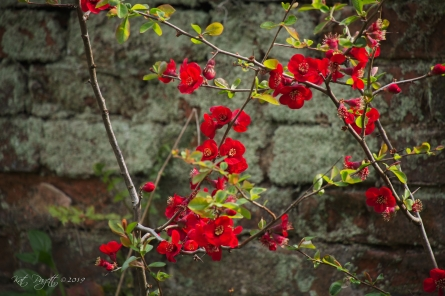 Quince glows agains lichen covered brick.