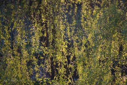 Late day sun on new Willow leaves.