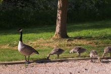 Papa waits patiently for his seed, now that the Goslings are happy.