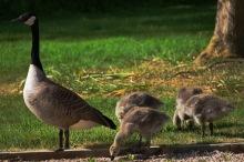 Happy Goslings, Happy Parent